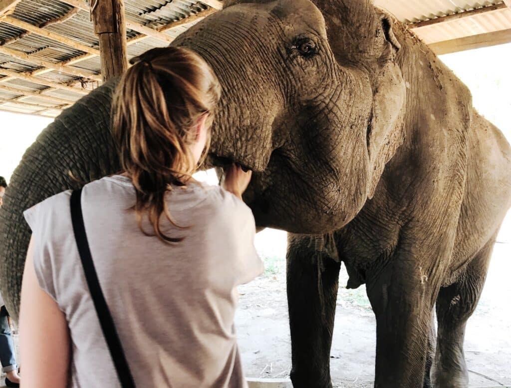 Sticky Rice voor de oudere olifanten die geen tanden meer hebben.