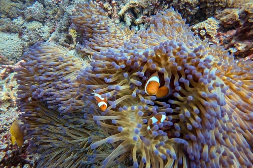 Anemoon met clownfish