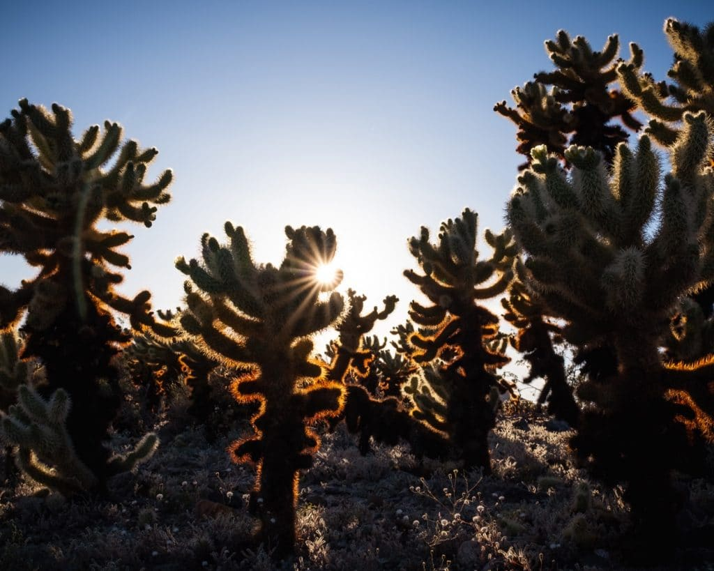 Cholla Cactus Garden Joshua Tree National Park