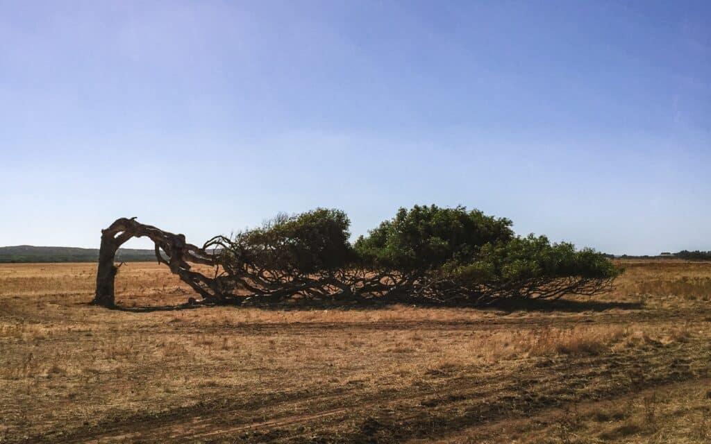 Scheefgegroeide boom door wind